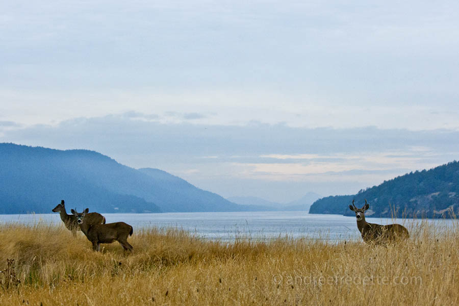 Trio of black-tailed deer, East Point, Saturna Island. Photo © Andrée Fredette
