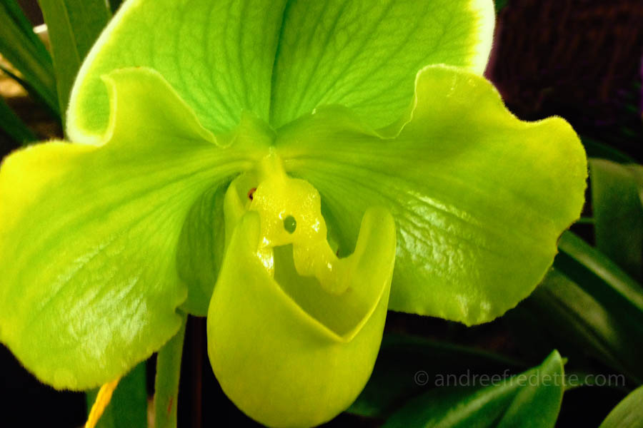 Yellow UFO orchid. Photo by Andrée Fredette
