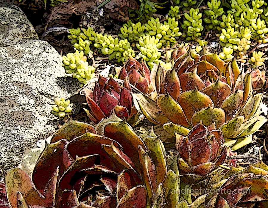 Xeriscape with succulents. Photo © Andrée Fredette