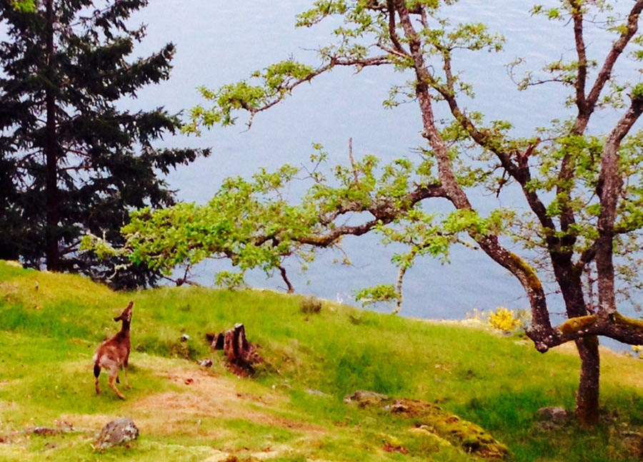Deer and Garry Oak 1. Photo by Andrée Fredette