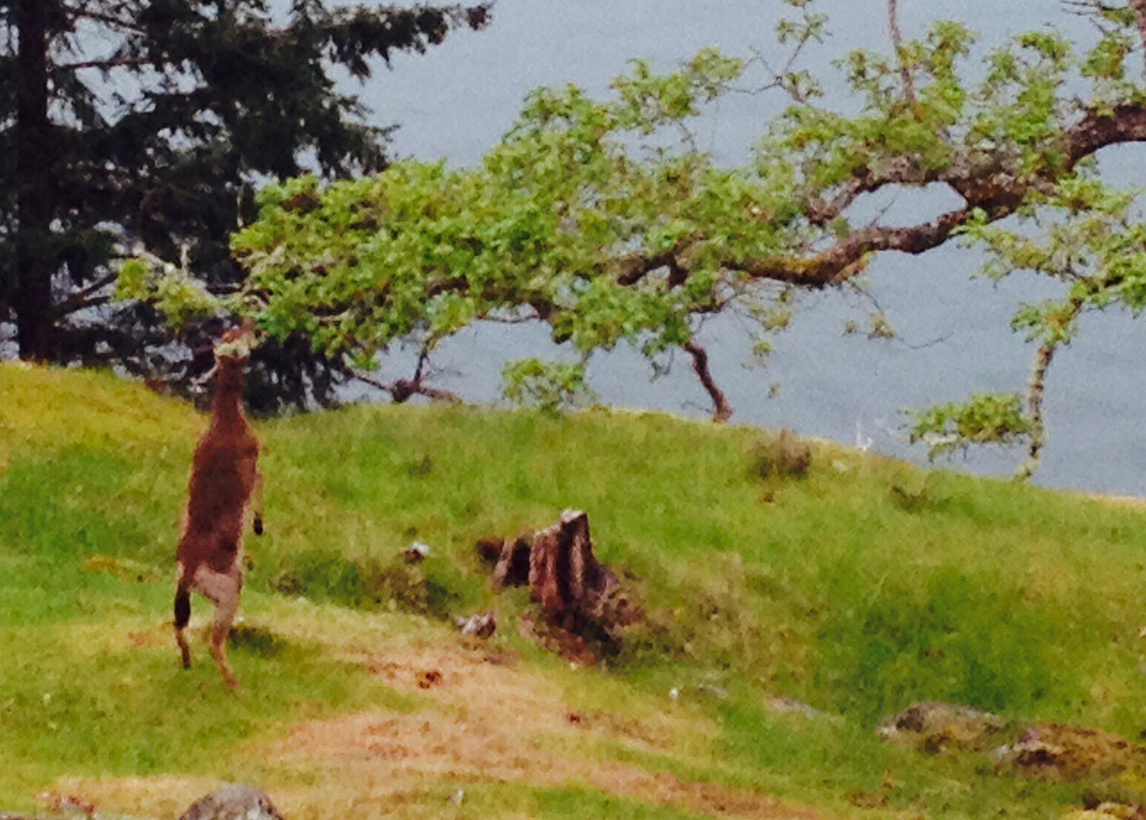 Deer and Garry Oak 3. Photo by Andrée Fredette