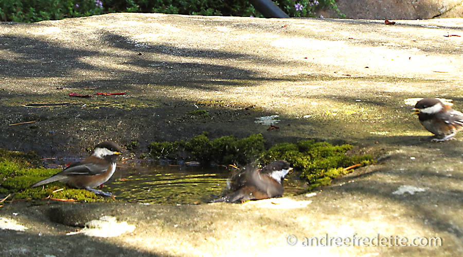 Bathing Trio of Chickadees. Photo by Andrée Fredette