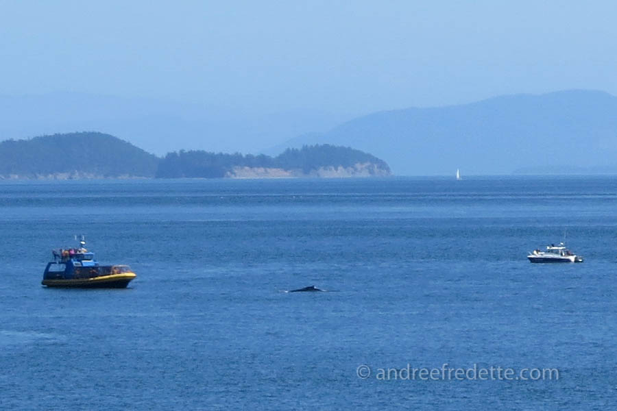 Explorathor whale-watching boat too close to humpback whales, and almost blocking their path. Photo © Andrée Fredette