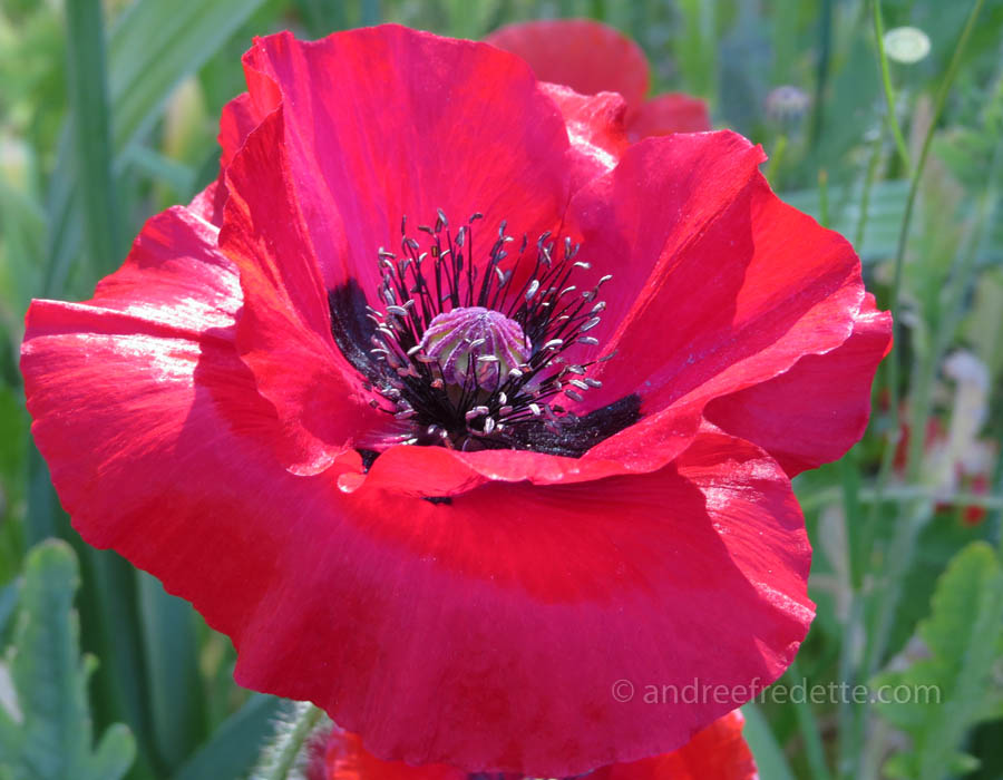 Deepest red poppy. Photo by Andrée Fredette