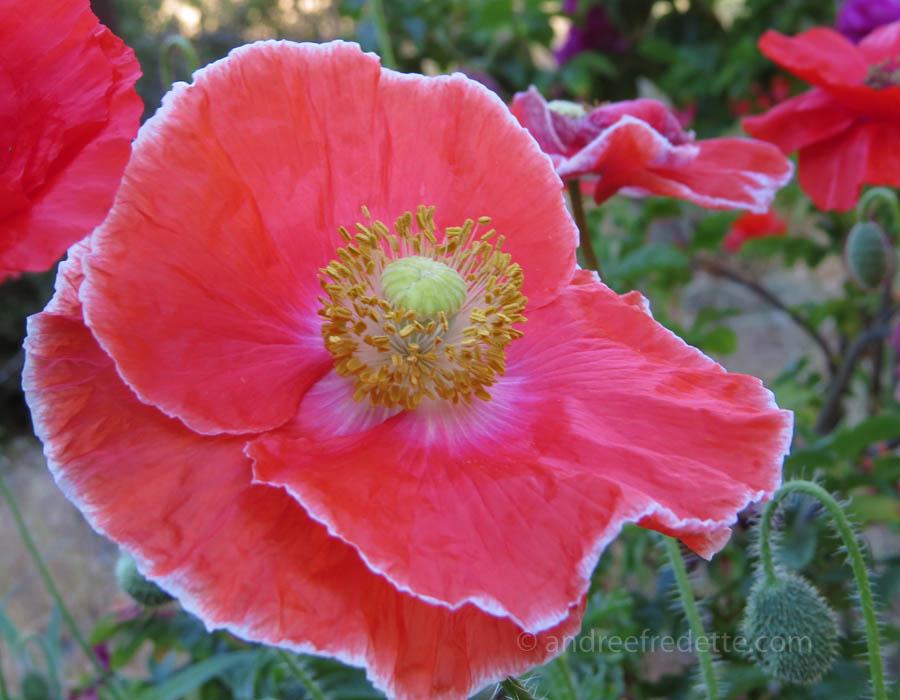 Dark picotée poppy. Photo by Andrée Fredette
