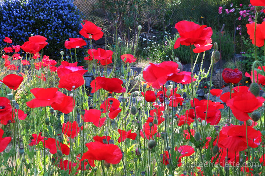 All together now! Poppies photographed by Andrée Fredette