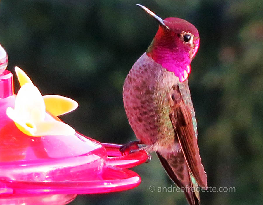Colourful nature! Rufous Hummingbird. Photo © Andrée Fredette