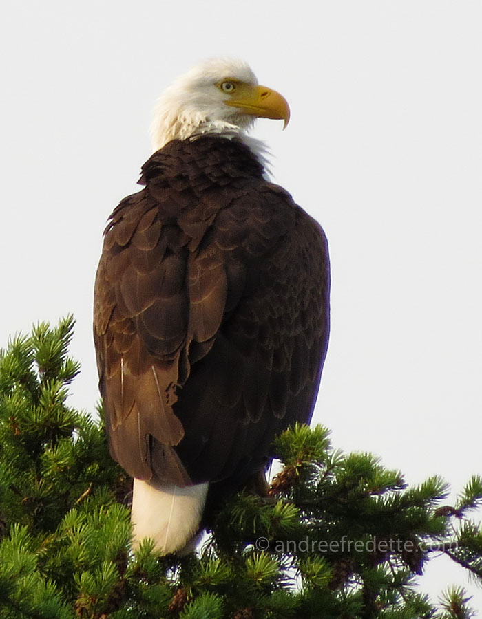 Bald eagle, Saturna Island. Photo by Andrée Fredette