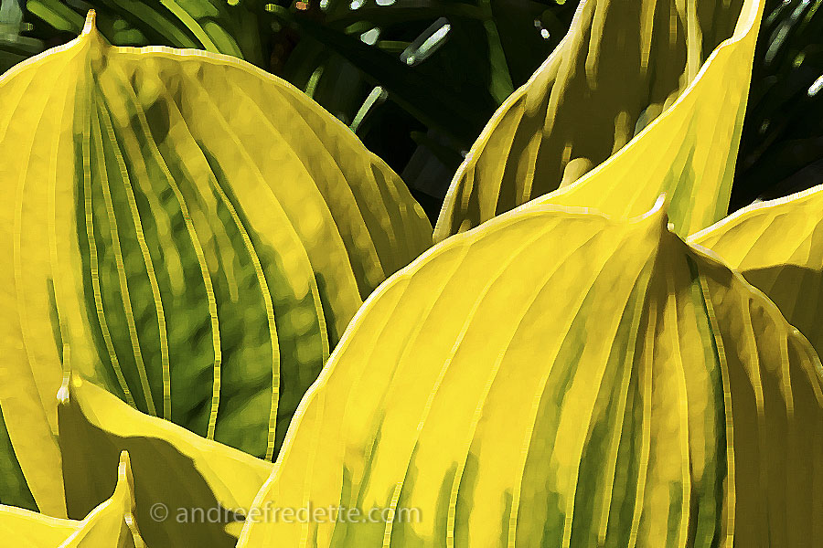 Hosta Leaves. Photo by Andrée Fredette