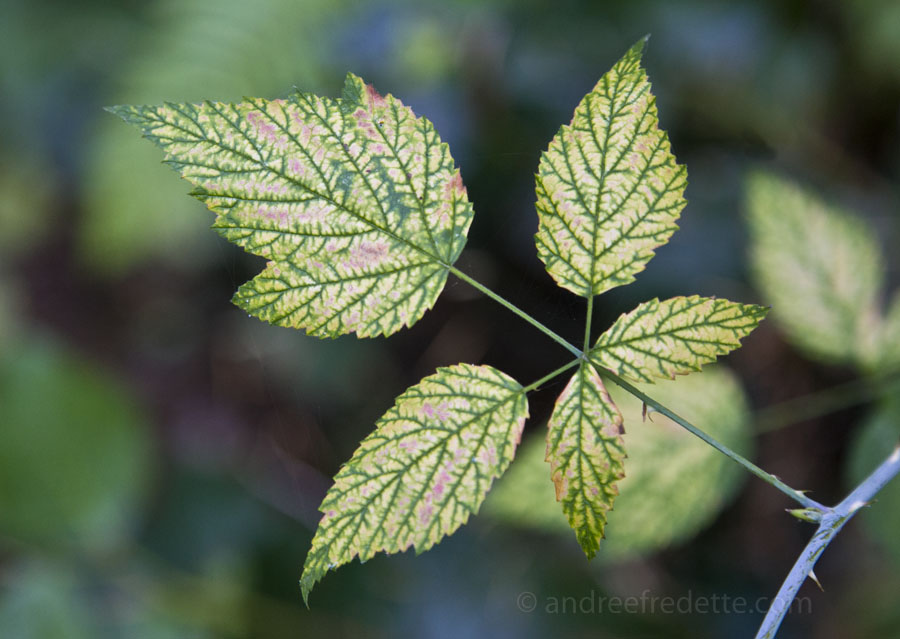 Blackberry Leaf, Stressed. Photo by Andrée Fredette