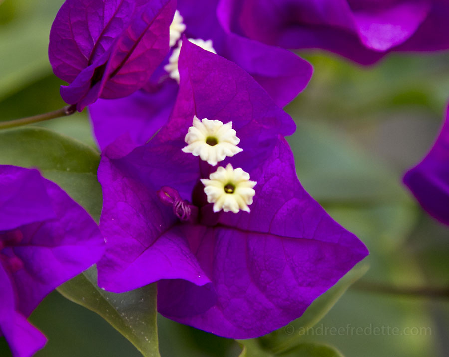 Bougainvillea on the deck. Photo by Andrée Fredette