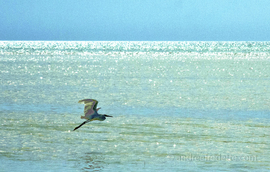 Egret on Silver Water, Holbox Island, Mexico. Photo by Andrée Fredette