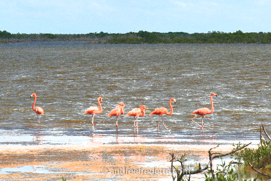 Flamingos at Laguna Rosada, near Progresso, Yucatan. Photo by Andrée Fredette