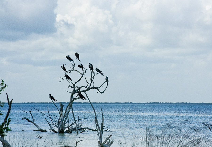 Frigate Birds Tree, Holbox Island, Mexico. Photo by Andrée Fredette