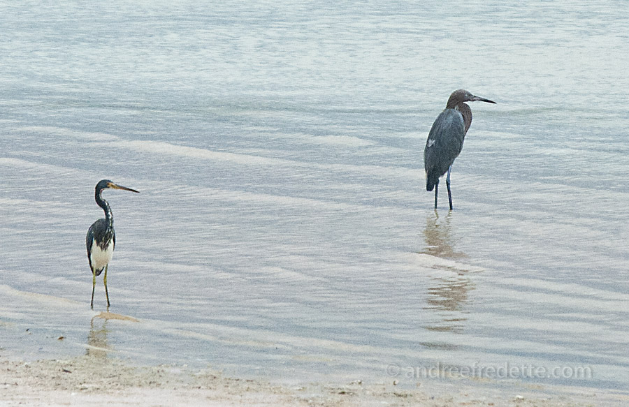 Great Blue Heron & Tricolored Heron. Holbox Beach, photo by Andrée Fredette
