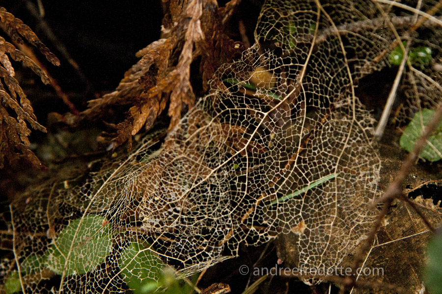 Leaf veins form a lace-like network. Photo by Andrée Fredette