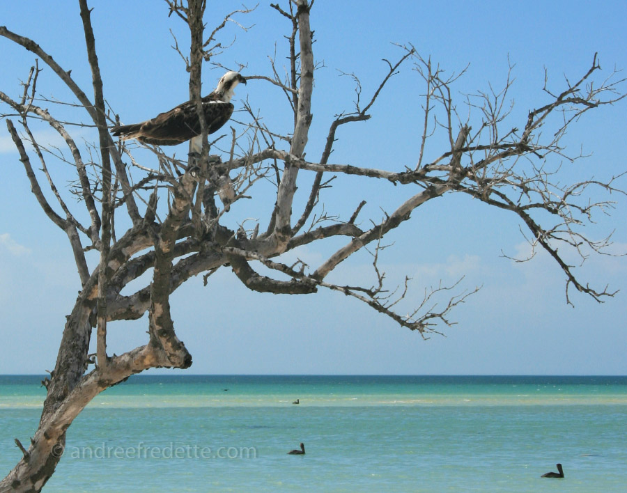Osprey with prey, Holbox Island. Photo by Andrée Fredette