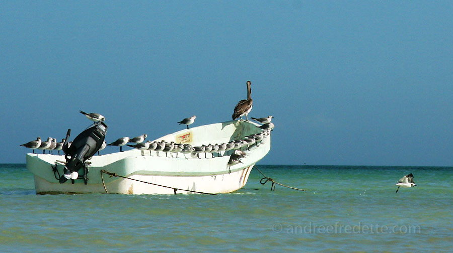 Pelican and Gulls Line Up, Holbox Island. Photo by Andrée Fredette