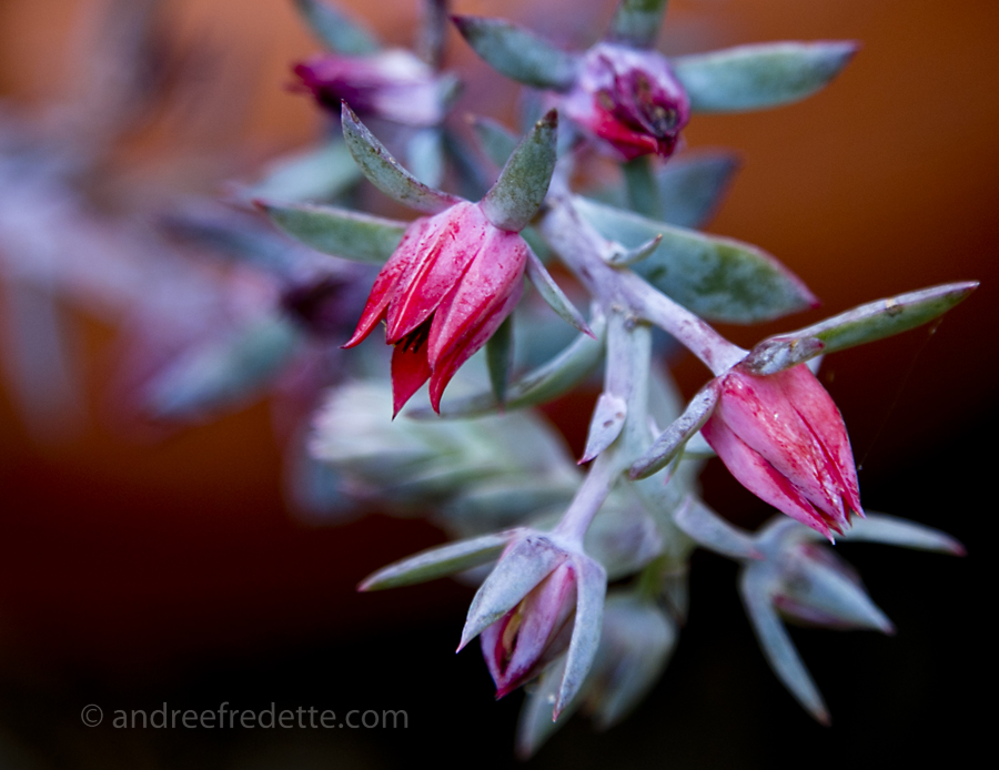 Succulent Bloom in September. Photo by Andrée Fredette
