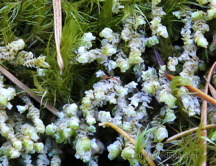 Yellow-Ladle Liverwort (Scapania bolanderi), Saturna Island. Photo by Andrée Fredette