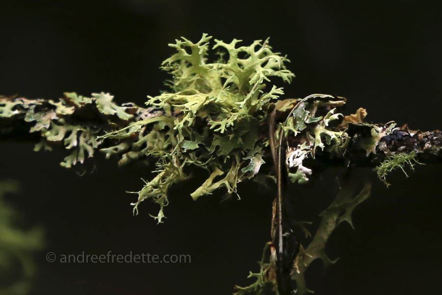 Almost an ecosystem of lichens, on a branch. Narvaez Bay, Saturna Island, BC. Photo by Andrée Fredette