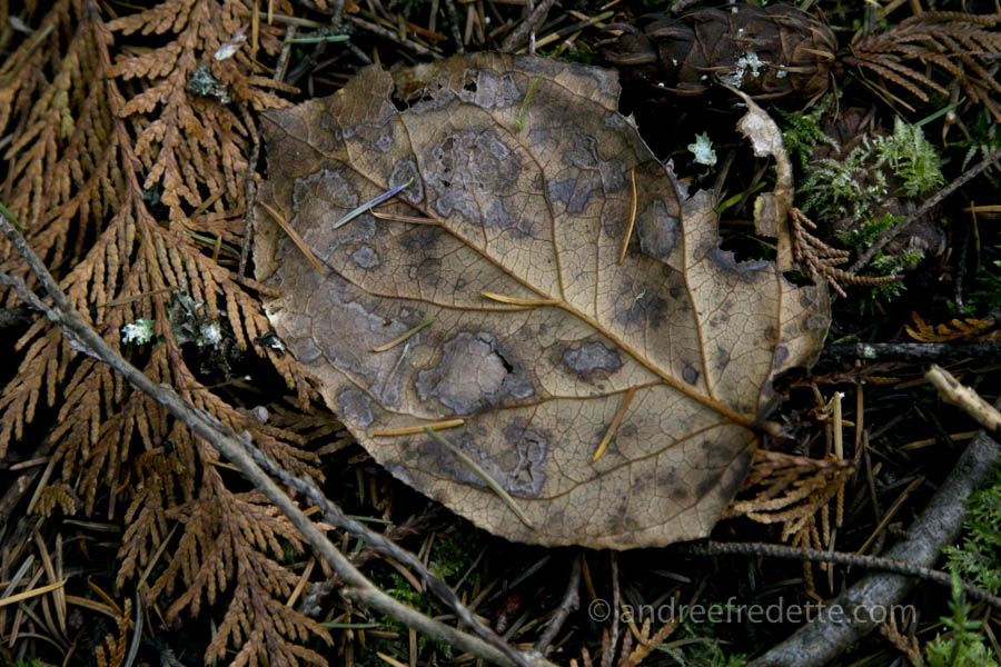 Salal leaf, decaying. Photo by Andrée Fredette