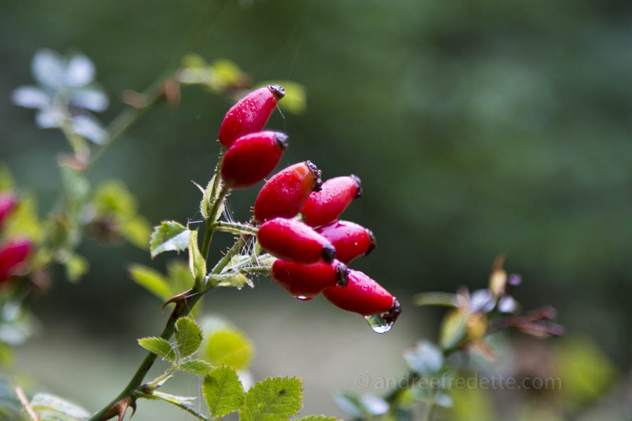 Nootka Rose Hips. Photo by Andrée Fredette