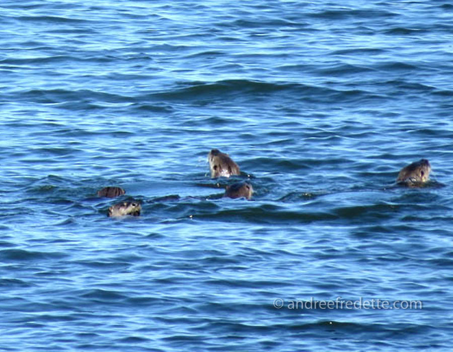 Otter clan, East Point, Saturna Island. Photo by Andrée Fredette