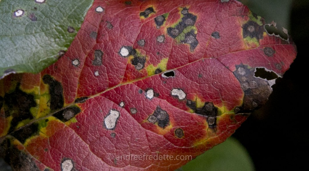 Salal leaf, fall. Photo by Andrée Fredette