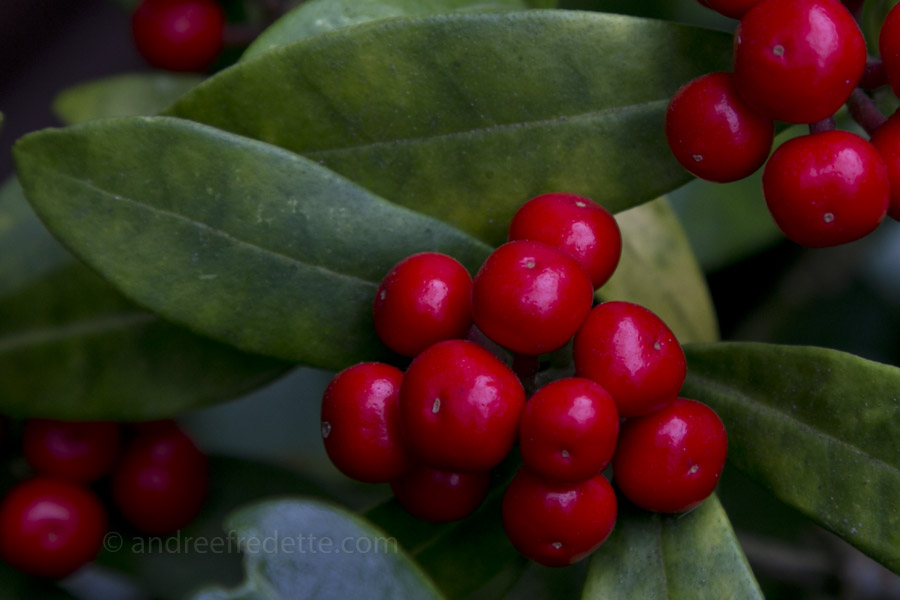 Japanese Skimmia (Skimmia japonica) berries. Photo by Andrée Fredette