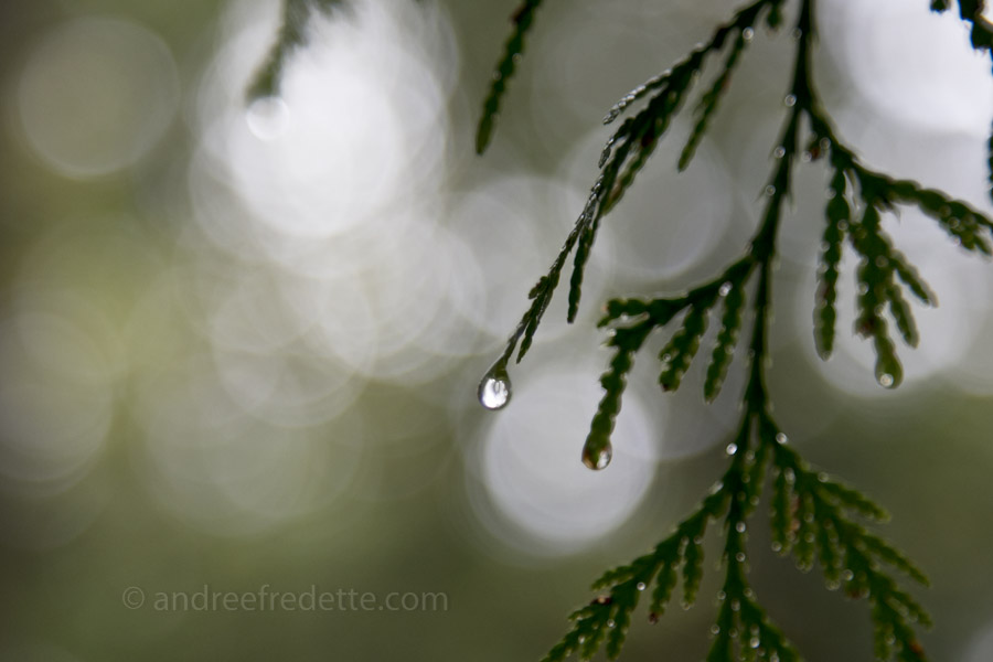 Water drop, cedar diamond. Photo by Andrée Fredette