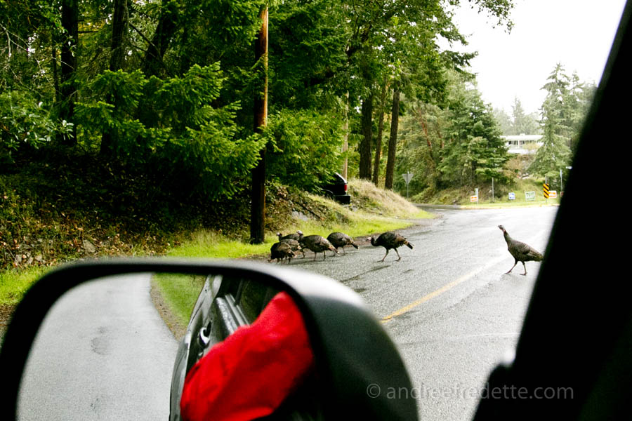 Turkey traffic near the general store, Saturna Island, BC. Photo by Andrée Fredette