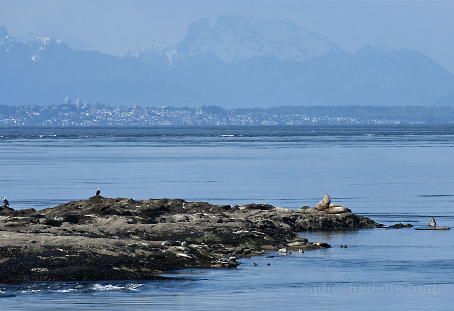 Sea Lions and Eagles at East Point, Saturna Island. In the background, Bellingham, WA. Photo by Andrée Fredette
