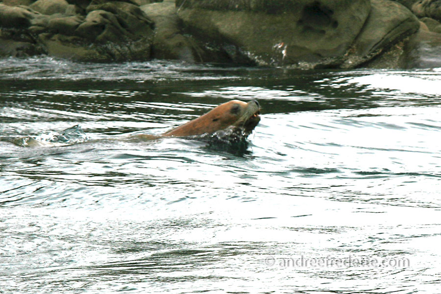 The Boat Pass hunter: a sea lion, riding the tide through the pass for added speed and stealth. Photo by Andrée Fredette