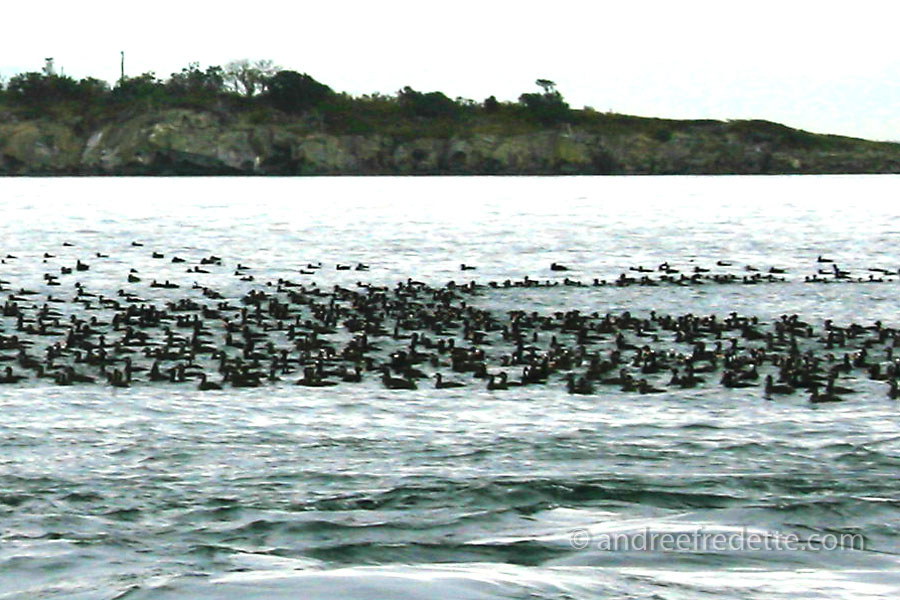 "Surf scoter ducks in ""raft"" formation, minding their own business. Photo by Andrée Fredette"