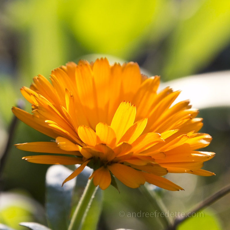 Pacific Calendula in bloom, January 2016 on Saturna Island, BC. Photo by Andrée Fredette
