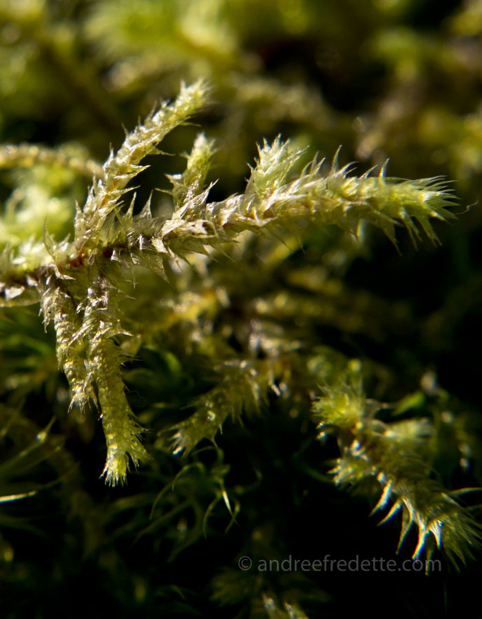 Moss close-up. Photo by Andrée Fredette