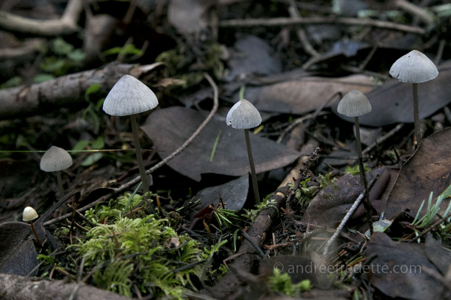 Little grey cap mushrooms, all lined up for a dance. Saturna Island, BC. Photo by Andrée Fredette