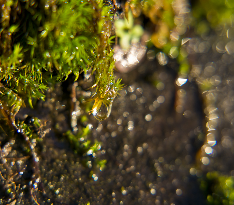 A drop, almost ready to fall off the moss. Photo by Andrée Fredette