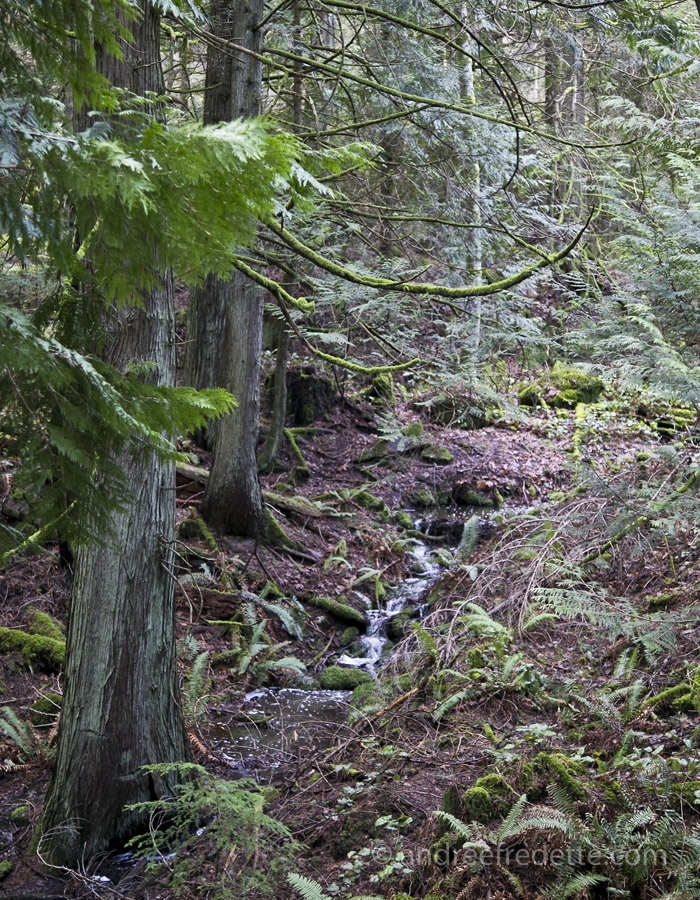Winter rains feed a seasonal creek on Saturna Island, BC. Photo by Andrée Fredette