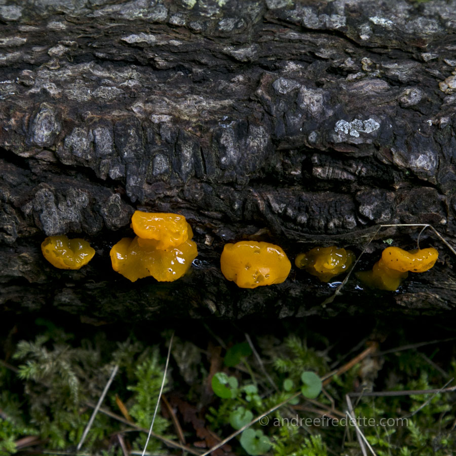 Witches' Butter (Dacrymyces chrysospermus), a yellow jelly mushroom on Saturna Island, BC. Photo by Andrée Fredette