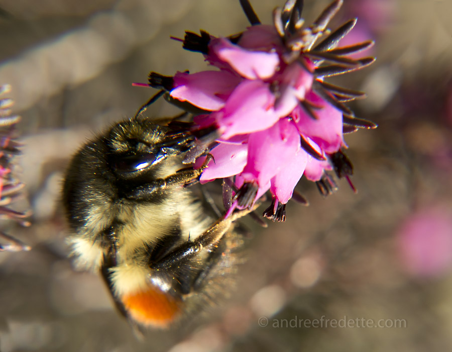 Bee on Winter Heather. Photo by Andrée Fredette