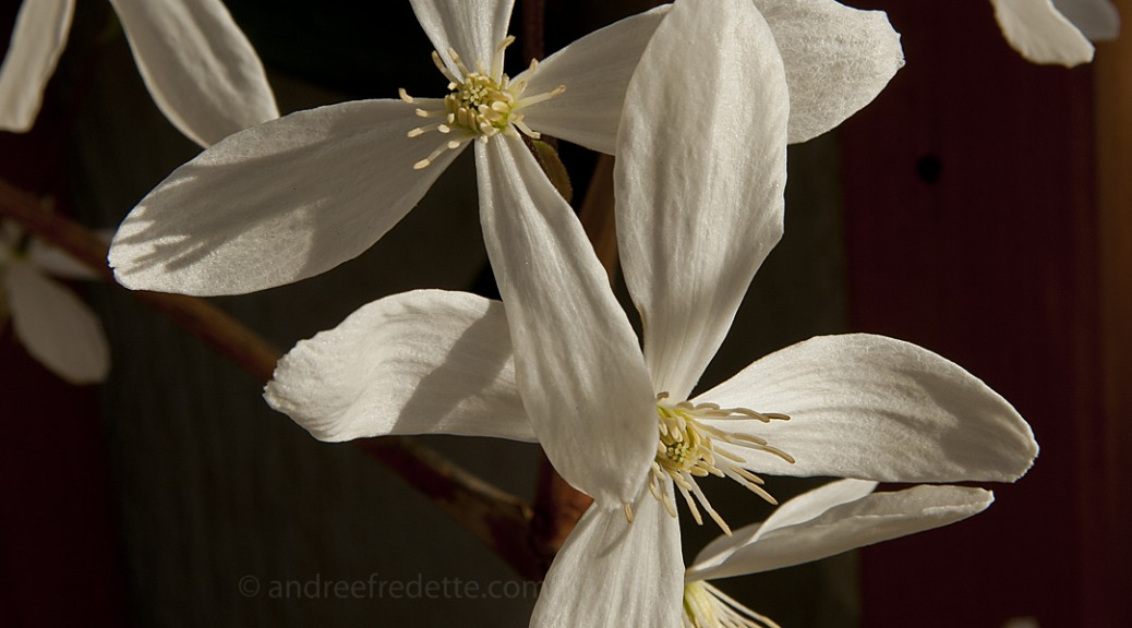 Winter clematis. Photo by Andrée Fredette