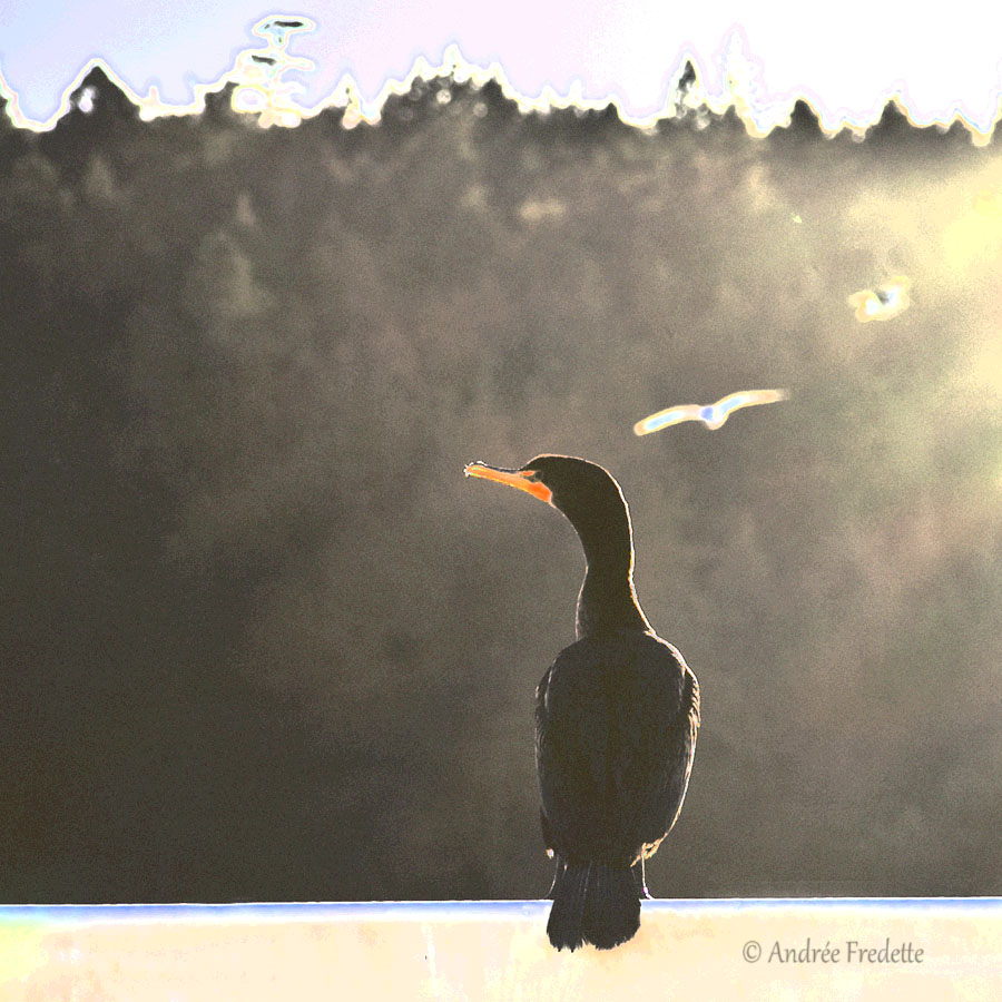 Cormorant, waiting. Photo by Andrée Fredette