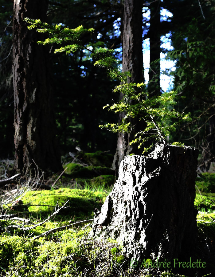 New growth on an old fir stump. Hope springs eternal. Photo by Andrée Fredette