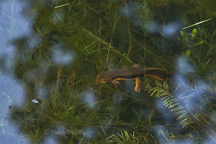 Rough-skinned newt (Taricha granulosa). Photo by Andrée Fredette
