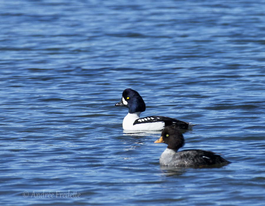 Barrow's Goldeneye pair at Winter Cove, Saturna Island, BC. Photo by Andrée Fredette