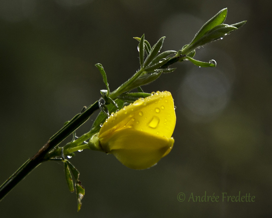 Scotch broom (Cytisus scoparius), invasive plant in bloom, Saturna Island, BC. Photo by Andrée Fredette