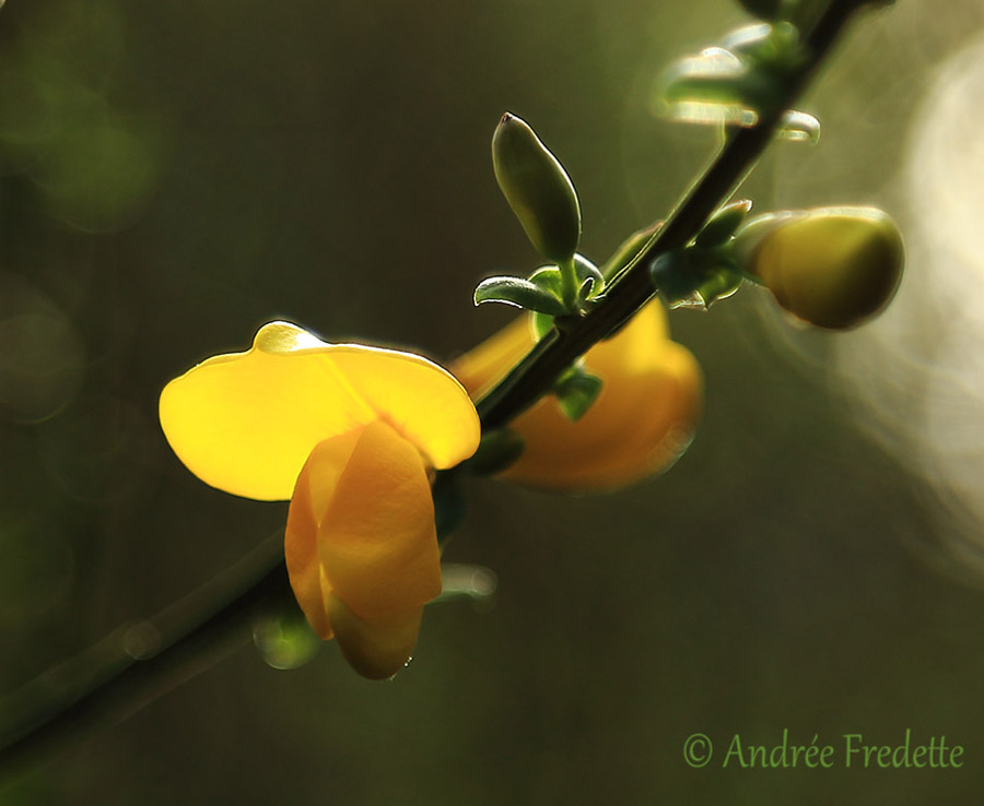 Scotch broom (Cytisus scoparius) in bloom, March, Saturna Island, BC. Photo by Andrée Fredette