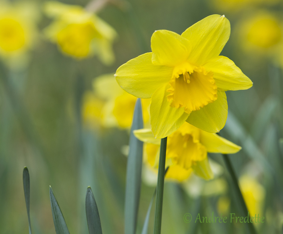 Daffodils. Photo by Andrée Fredette